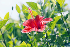 Κόκκινο hibiscus λουλούδι, υπόβαθρο Στοκ φωτογραφία με δικαίωμα ελεύθερης χρήσης