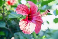 Κόκκινο hibiscus λουλούδι, υπόβαθρο Στοκ Εικόνες