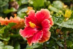 Κόκκινο hibiscus λουλούδι στην άνθιση Στοκ εικόνες με δικαίωμα ελεύθερης χρήσης