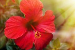 Κόκκινο hibiscus λουλούδι στην ηλιοφάνεια Στοκ Εικόνα