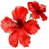 Κόκκινο hibiscus λουλούδι, τροπικές εγκαταστάσεις που απομονώνονται, απεικόνιση watercolor στο λευκό διανυσματική απεικόνιση