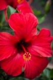 Κόκκινο hibiscus λουλούδι Στοκ Εικόνες