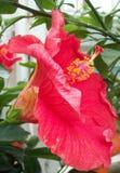 Κόκκινο hibiscus λουλούδι Στοκ φωτογραφία με δικαίωμα ελεύθερης χρήσης