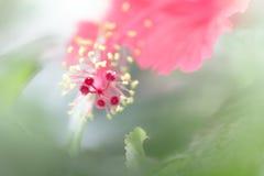Κόκκινο hibiscus λουλούδι στοκ εικόνα με δικαίωμα ελεύθερης χρήσης