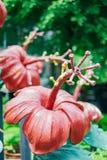 Κόκκινο Hibiscus architechture στον κήπο Στοκ φωτογραφία με δικαίωμα ελεύθερης χρήσης
