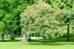 Κόκκινο Horse-chestnut στοκ φωτογραφία με δικαίωμα ελεύθερης χρήσης