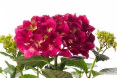 κόκκινο hydrangea Στοκ φωτογραφία με δικαίωμα ελεύθερης χρήσης