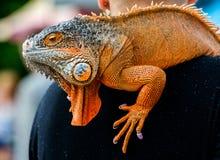 Κόκκινο Iguana, πορτρέτο Στοκ Εικόνες