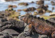 Κόκκινο iguana στο βράχο, Galapagos νησιά, Ισημερινός στοκ εικόνες