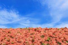 Κόκκινο ixora πλαισίων λουλουδιών, υπόβαθρο μπλε ουρανού Στοκ φωτογραφία με δικαίωμα ελεύθερης χρήσης