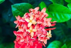 Κόκκινο Ixora στον κήπο Στοκ φωτογραφία με δικαίωμα ελεύθερης χρήσης