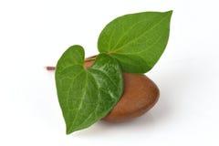 Κόκκινο Kaow Plu (ταϊλανδικό όνομα) (cordata Thunb Houttuynia ) Αντικαρκινικά χορτάρια Στοκ εικόνα με δικαίωμα ελεύθερης χρήσης