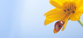 Κόκκινο ladybug στο λουλούδι πετάλων ηλίανθων, ερπυσμοί λαμπριτσών στο φύλλο ο Στοκ Εικόνες