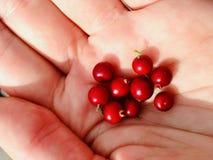 Κόκκινο Lingonberries σε ένα χέρι στοκ εικόνα