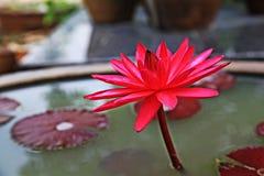 Κόκκινο Lotus και καφέ φύλλα στη λίμνη Στοκ φωτογραφία με δικαίωμα ελεύθερης χρήσης