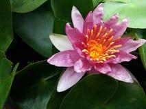 Κόκκινο Lotus Στοκ Φωτογραφίες