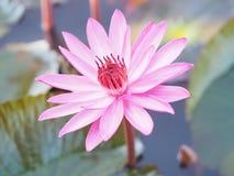 Κόκκινο Lotus στοκ εικόνα
