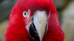Κόκκινο Macaw στοκ εικόνα με δικαίωμα ελεύθερης χρήσης