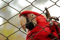 Κόκκινο Macaw στοκ φωτογραφίες με δικαίωμα ελεύθερης χρήσης