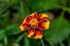 Κόκκινο marigold Καλλιεργημένο λουλούδι στοκ εικόνα με δικαίωμα ελεύθερης χρήσης