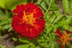 Κόκκινο Marigold λουλουδιών Στοκ φωτογραφία με δικαίωμα ελεύθερης χρήσης