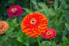Κόκκινο Marigold λουλούδι Στοκ Εικόνες