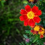 Κόκκινο marigold Στοκ Εικόνες