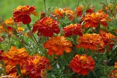 Κόκκινο marigold Στοκ φωτογραφίες με δικαίωμα ελεύθερης χρήσης