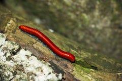 Κόκκινο millipede στοκ εικόνα με δικαίωμα ελεύθερης χρήσης
