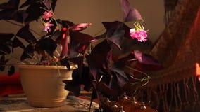 Κόκκινο Oxalis με τα ρόδινα λουλούδια Στοκ Εικόνες