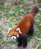 Κόκκινο panda Κόκκινες στάσεις της Panda στα οπίσθια πόδια του Κόκκινη κινηματογράφηση σε πρώτο πλάνο της Panda Στοκ Εικόνες