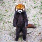 Κόκκινο panda Κόκκινες στάσεις της Panda στα οπίσθια πόδια του Κόκκινη κινηματογράφηση σε πρώτο πλάνο της Panda Στοκ εικόνα με δικαίωμα ελεύθερης χρήσης