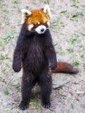 Κόκκινο panda Κόκκινες στάσεις της Panda στα οπίσθια πόδια του Κόκκινη κινηματογράφηση σε πρώτο πλάνο της Panda Στοκ φωτογραφία με δικαίωμα ελεύθερης χρήσης