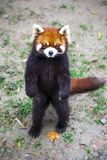 Κόκκινο panda Κόκκινες στάσεις της Panda στα οπίσθια πόδια του Κόκκινη κινηματογράφηση σε πρώτο πλάνο της Panda Στοκ Εικόνα