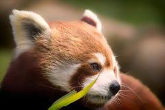 Κόκκινο panda Μαλακός αισθανθείτε την εικόνα φύσης του ευγενούς ερωτεύσιμου ζώου με Στοκ Φωτογραφίες