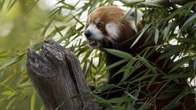 Κόκκινο panda στο δέντρο Στοκ εικόνα με δικαίωμα ελεύθερης χρήσης