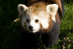 Κόκκινο Panda   Στοκ Φωτογραφία