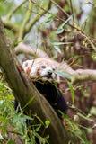 Κόκκινο panda Στοκ εικόνες με δικαίωμα ελεύθερης χρήσης