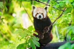Κόκκινο panda Ailurus fulgens σε ένα δέντρο που εξετάζει τη κάμερα Στοκ Εικόνες