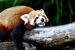Κόκκινο panda, aka μικρότερο panda Στοκ εικόνα με δικαίωμα ελεύθερης χρήσης