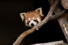 Κόκκινο panda, aka μικρότερο panda Στοκ Εικόνα