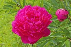 Κόκκινο peony Κάνσας στον κήπο Στοκ Φωτογραφία