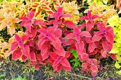Κόκκινο Plectranthus scutellarioides Στοκ Φωτογραφίες