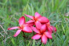 Κόκκινο Plumeria ανθίζει όμορφο Στοκ φωτογραφία με δικαίωμα ελεύθερης χρήσης