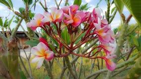 κόκκινο plumeria λουλουδιών Στοκ φωτογραφία με δικαίωμα ελεύθερης χρήσης