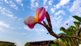 κόκκινο plumeria λουλουδιών Στοκ Εικόνες