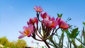 κόκκινο plumeria λουλουδιών Στοκ φωτογραφίες με δικαίωμα ελεύθερης χρήσης