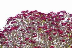Κόκκινο plumeria στο άσπρο υπόβαθρο Στοκ Εικόνες