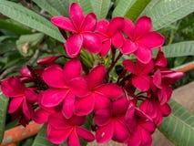 Κόκκινο Plumeria στο δέντρο, τροπικά λουλούδια frangipani Στοκ φωτογραφίες με δικαίωμα ελεύθερης χρήσης