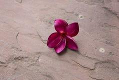Κόκκινο plumeria στο πάτωμα πετρών άμμου Στοκ Εικόνες